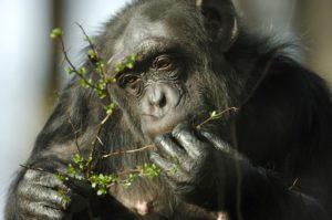 Schimpanse9 FFN5418kl